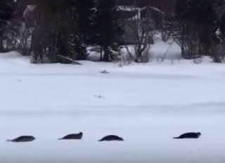 Один из канадских городков массово «атаковали» тюлени