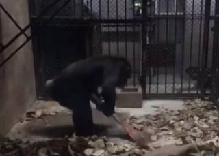 В Китае шимпанзе научили орудовать веником и совком