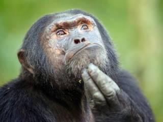 В Швейцарии решили официально «уравнять» обезьяну и человека