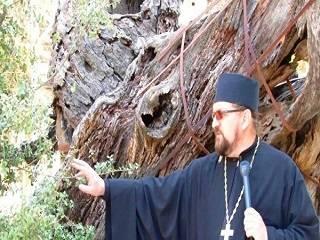 Ветхозаветный Мамврийский дуб освобождают от отмерших частей