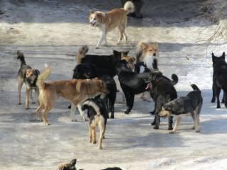 В Кропивницком стая собак набросилась на мальчика, который шел в школу