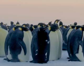 В Сети впервые опубликовано уникальное видео черного пингвина