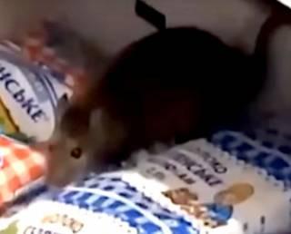 Посетители супермаркета в Ровно засняли крысу, взгромоздившуюся на пакеты с молоком