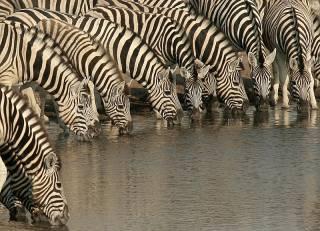 Почему зебра полосатая? Ученые ответили на многовековой вопрос
