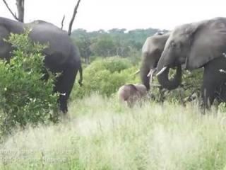 В ЮАР засняли уникального розового слоненка