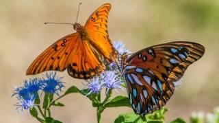Как бабочки могут повредить строительству стены Трампа