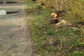 Неизвестные «вырезали» десятки тополей в Киеве