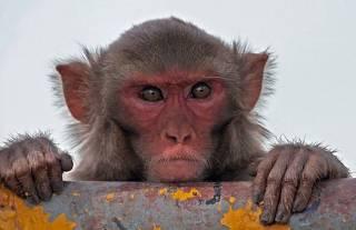 Китайские ученые додумались скрестить обезьяну с человеком