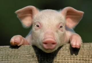 Ученым из США почти удалось оживить свинью