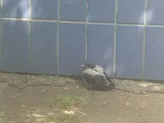 В киевских детсадах вороны нападают на детей