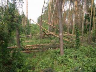 Мощный ураган на Житомирщине за минуты повалил более 100 га леса