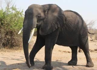 В одной из африканских стран разрешили убивать слонов