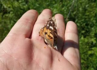 Киев второй год подряд «по неизвестному человеческой науке зову природы» заполоняют бабочки