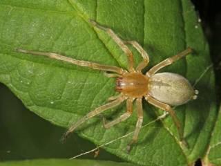 В Киеве появились кусачие желтые пауки