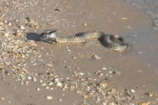 Нашествие змей в Одессе. Их встречают даже в туалетах