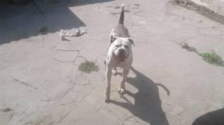 Под Киевом бойцовский пес набросился на пожилую женщину