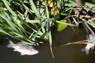 В прудах на Голосеево массово гибнет рыба