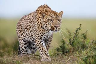 В Индии леопард обглодал спящего крестьянина – всю деревню охватила паника