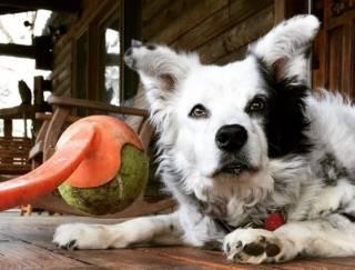 Умерла самая умная собака в мире, «знавшая» более тысячи слов