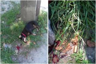 В Киеве водитель застрелил собаку женщины, которая «слишком медленно» переходила дорогу