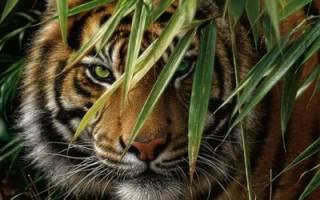 В Индии тигр обглодал крестьянина