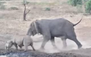 Очевидцы сняли побоище слона и двух носорогов (18+)