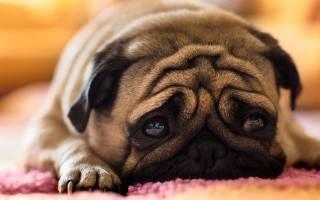Загадочная болезнь «косит» собак в Норвегии