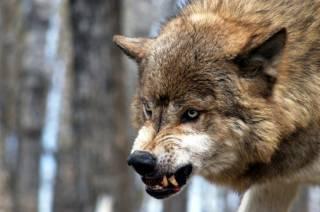 В аннексированном Россией Крыму бешеный волк напал на людей