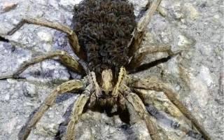 В Запорожье прямо на тротуаре был замечен необычный тарантул