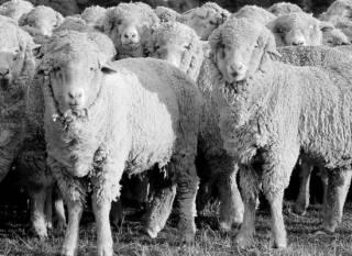«Зелебобики» перестали бегать стадом?
