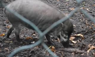 Очень умная парижская свинья потрясла интернет