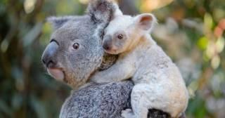 Пожар в Австралии уничтожил сотни коал