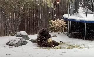 Медведь «сыграл в футбол» во дворе обалдевшего американца
