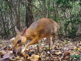 В лесах Вьетнама удалось заснять животное, которое никто не видел с прошлого тысячелетия