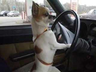 В США собачка «угнала» машину хозяйки и чуть не спровоцировала ДТП
