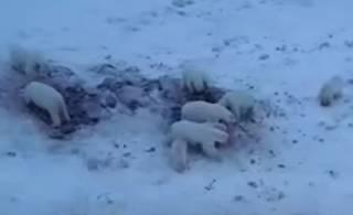 Десятки белых медведей атаковали одно из российских сел