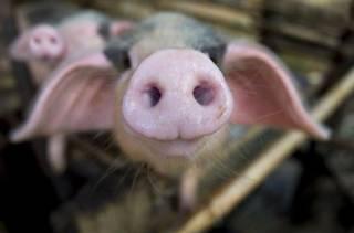 Китайцы скрестили свиней и обезьян
