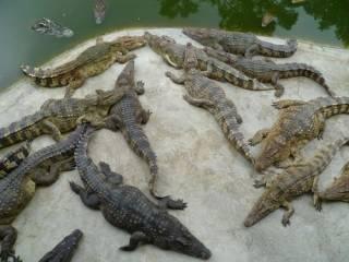 Ученые подтвердили, что крокодилы умеют скакать как лошади