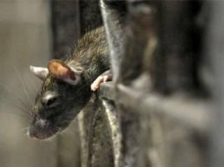 Пассажиров киевского метро пугают полчища крыс