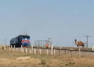 На границе России и Казахстана верблюд поиздевался над целым поездом