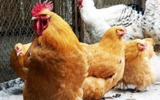 На Виннитчине зафиксирован случай птичьего гриппа
