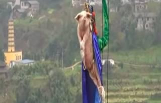 Во время открытия парка в Китае организаторы странно поиздевались над свиньей