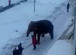 В России слонихи увидели снег и сбежали из цирка