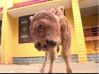 В Индии родился теленок-мутант с двумя головами, четырьмя глазами и лишь с одной парой ушей