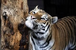 В Нью-Йорке коронавирусом заражаются даже новорожденные младенцы, тигры и львы