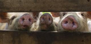 В Украине произошло сразу две вспышки африканской чумы свиней