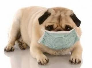 В США зафиксирован первый случай заражения коронавирусом собаки