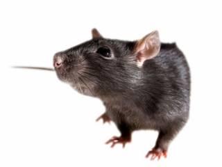 Львовянин в собственном унитазе обнаружил крысу