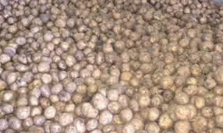 Голландия накормила украинцев промышленным картофелем