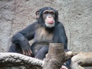Ученые установили, что шимпанзе можно научить разговаривать